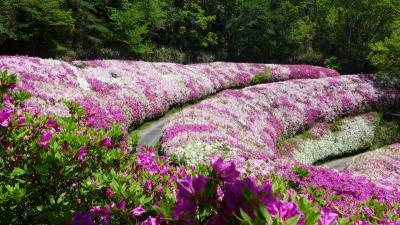 ピンク・白・紅色・咲き誇るヒラドツツジ!なるかわ園地