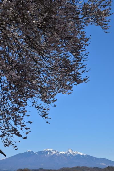 甲斐の国の桜めぐり(2)
