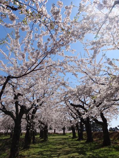 2019年5月 函館 桜