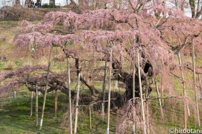 南東北桜5スポット撮影旅行【2】三春の滝桜・鶴ヶ城他