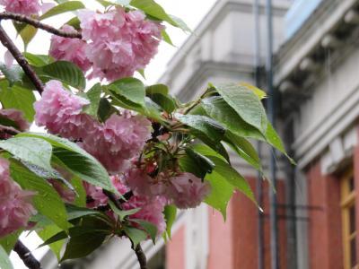桜も見おさめ雨降る名古屋