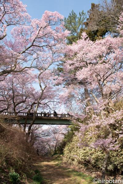 2019年 高遠城址公園の桜