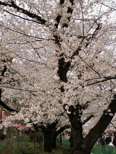 都内桜名所-9 上野恩賜公園 桜並木・花見の聖地 ☆花見客200万人は全国一