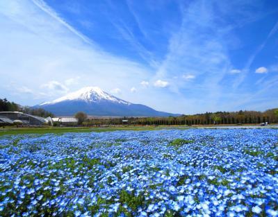 富士が背景にあるだけでご飯3杯イケちゃう気分~ネモフィラも芝桜も