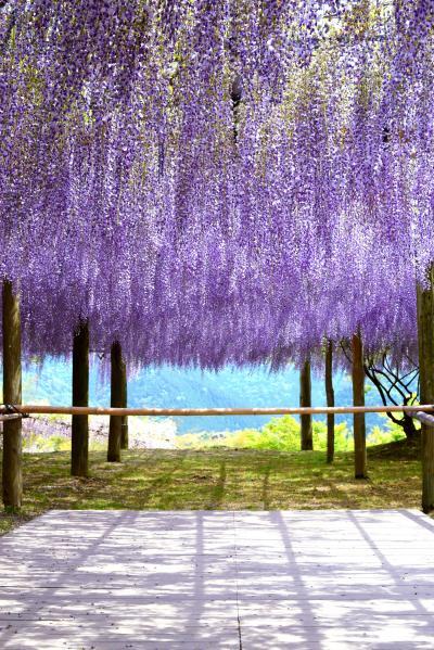 インスタ映えの花園「河内藤園」