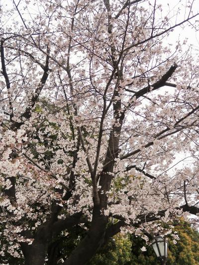 都内桜名所12 隅田公園 桜まつり開催中 ☆東京スカイツリー/墨田区役所を背に