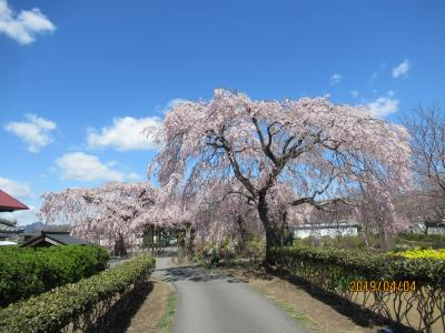 長福寺の枝垂れ桜