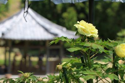 永沢寺花しょうぶ園の牡丹