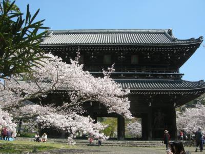 根来寺大門界隈桜光景