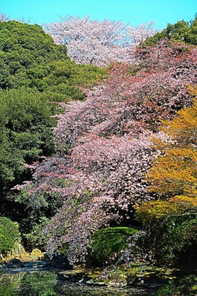 東博-5 桜/庭園散策 ヤエベニヒガンの名木も ☆さくら10種類も/次々と花ひらき