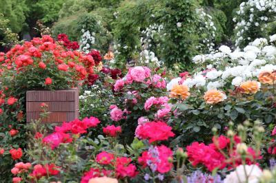港の見える丘公園~山下公園、バラが見頃で華やかです・・・