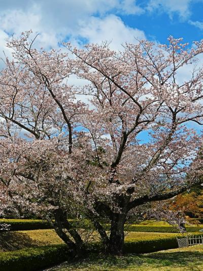 佐倉-1 国立歴史民俗博物館への道 桜・さくら咲いて ☆シャクナゲも花ざかり