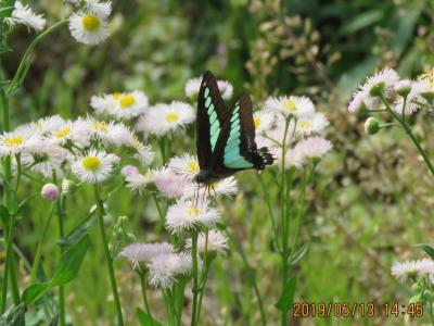 2019年森のさんぽ道で見られた蝶⑥アオスジアゲハ