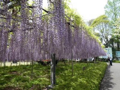 埼玉・大宮の青葉園の藤2019~樹齢700年の見事な藤~