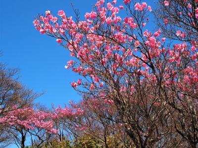 アカヤシオと鶯に癒される春の御在所山頂