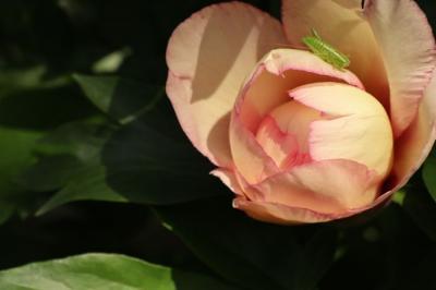 石光寺のお花たち・二上山