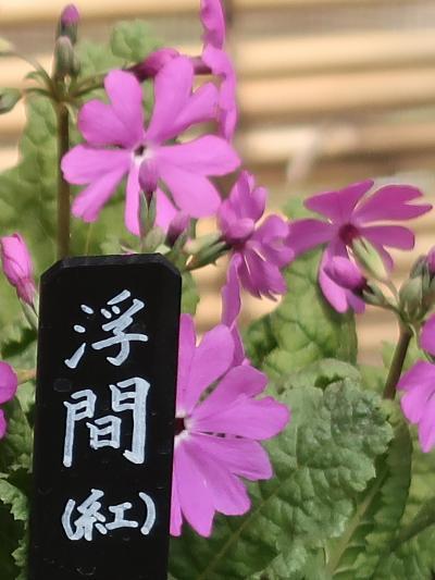 佐倉-7 くらしの植物苑d [伝統の桜草]展 ☆野性のサクラソウ-保護のため育種