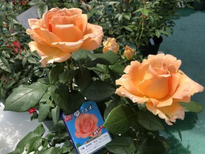 マダムの薔薇と美食イン小倉