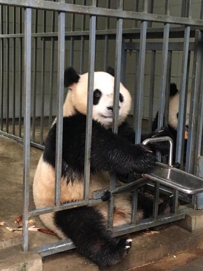 2019ジャイアントパンダ鑑賞記録☆GWは成都でパンダ三昧の3泊4日3☆都江堰で念願のパンダ飼育ボランティアに参加