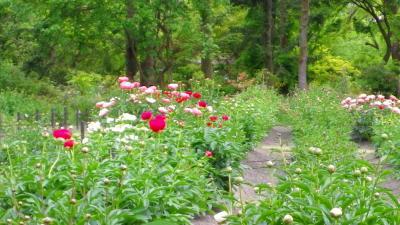 京都府立植物園散策で万葉集にうたわれたツボスミレに出会う