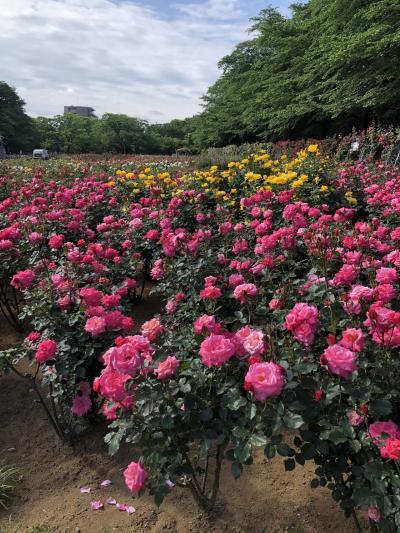2019/5 与野公園 素晴らしい薔薇園 お散歩記録