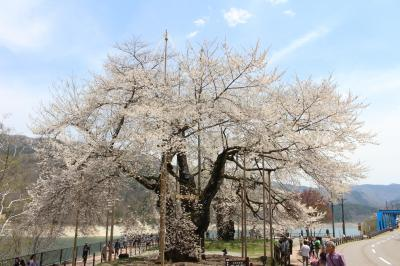 荘川桜を見に行ってみました