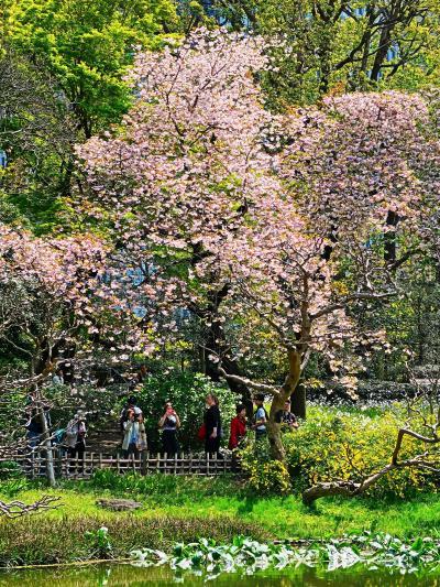 皇居東御苑-3 二の丸庭園-周遊 フゲンゾウ-桜咲く ☆和風の粋/外人客も多く評判に