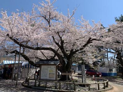 201904-05GW-03_三戸城跡の桜と田子牛ランチ Sakura in Sannohe (Aomori)