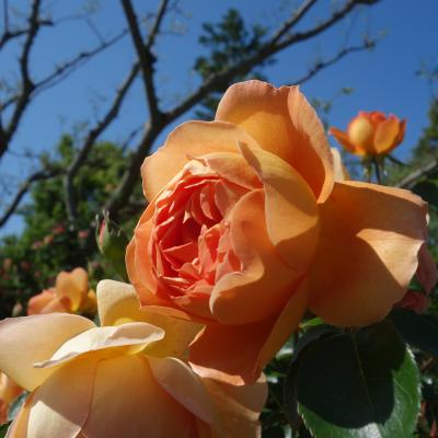 浜名湖ガーデンパーク。「花の美術館」のバラが姸を競っていました。満開です。