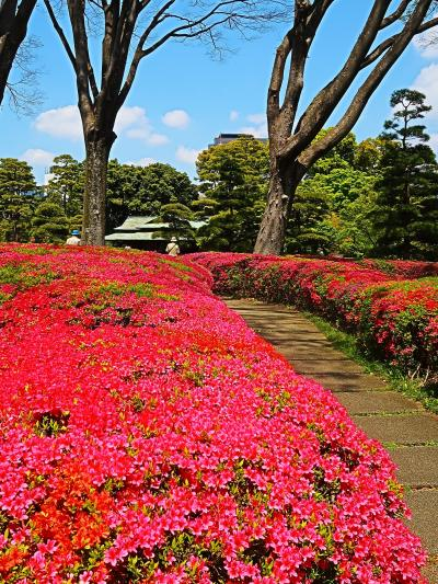 皇居東御苑-4 諏訪の茶屋近く クルメツツジ満開 ☆彩りよく入念に手入れ