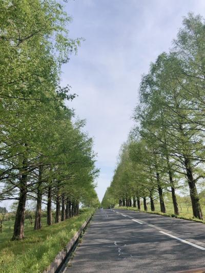 【滋賀】インスタ映え☆彡マ~キノのメタセコイア並木は素敵