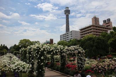 横浜山下公園のバラが満開/サイクリングで  5月/2019
