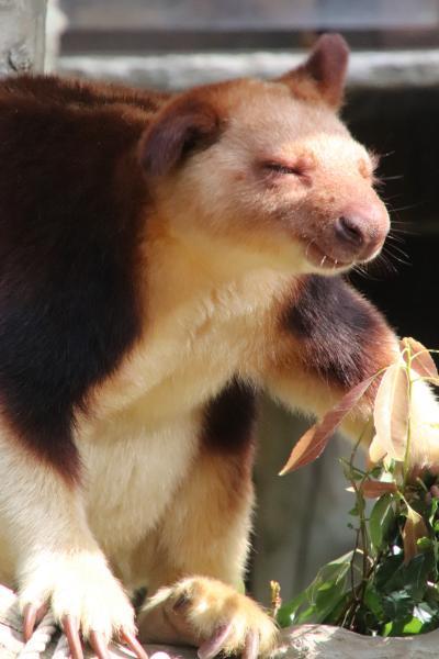 春のよこはまズーラシア~飼育の日と20周年の間の週末(3)セスジキノボリカンガルーや瓜坊模様のエミューのヒナからなんとか間に合ったオカピまで