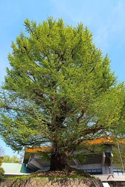 北の丸公園-2 日本武道館-田安門-靖国神社-九段下 ☆大イチョウはシンボルツリー