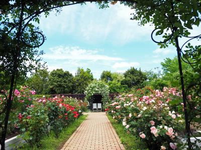 ― timing ― 花菜ガーデン薔薇の轍