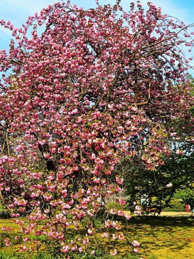 新宿御苑-3 桜・さくら 65種-1100本もある名所 ☆サトザクラは4月中旬がベスト