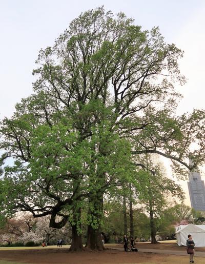 新宿御苑-4 巨樹名木 クスノキ/ヒマラヤスギ/カツラなど ☆ハンカチの木も見ごろ