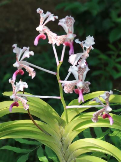 新宿御苑-5 大温室 熱帯植物約2700種を栽培 ☆小笠原諸島の固有種も/コルとは?