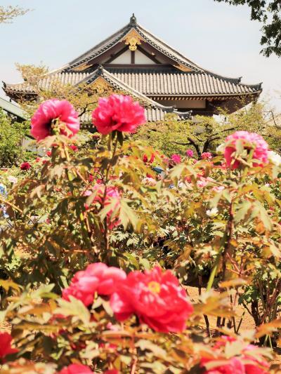 西新井大師-3 第一牡丹園 ぼたん・華麗な花-今盛りのとき ☆花まつり開催中で