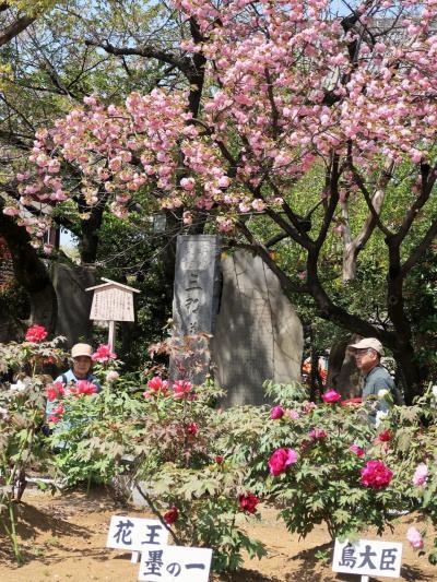 西新井大師-6 第三牡丹園 ぼたん鑑賞 ふたたび ☆寺社では関東一の規模誇り