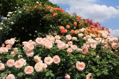 薫風にバラの花香る♪ 豊田市西山公園&夜景撮影♪