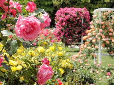 色とりどりの薔薇が咲き誇る♪伊奈町2019バラまつり@町制施行記念公園