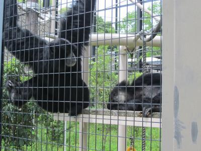 東山動物園フクロテナガザル
