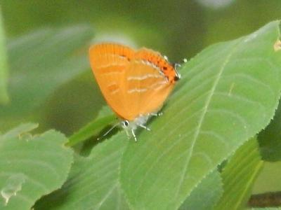 2019年森のさんぽ道で見られた蝶⑨アカシジミその他