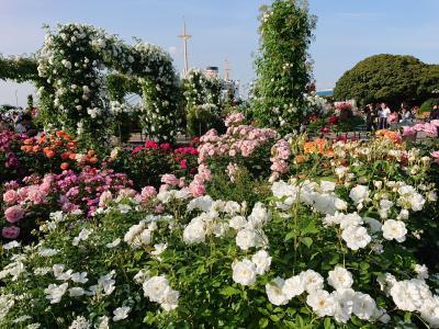 山下公園、港の見える丘公園の薔薇は満開です。