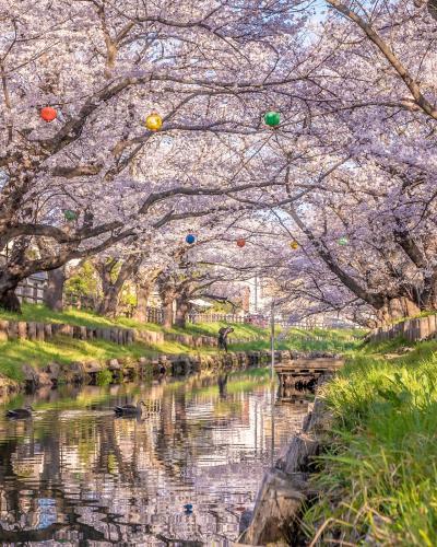 桜満開の川越