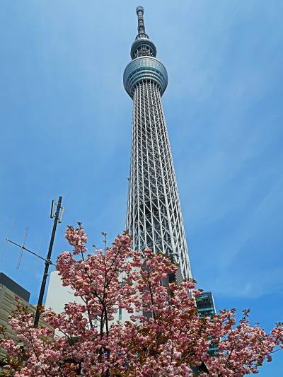 東京スカイツリー01 カンザン桜∸仰ぎ見て ☆タワー丼店前でおしなり君と出会い