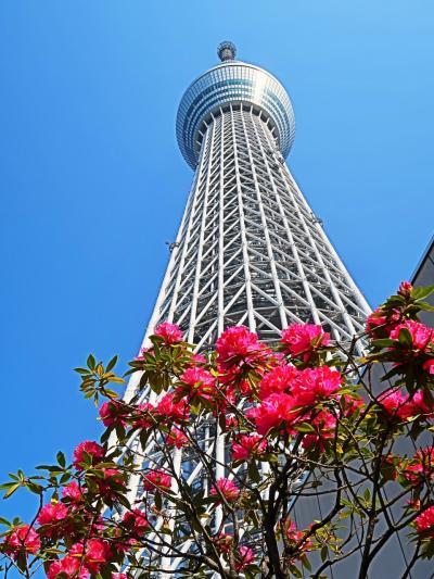 東京スカイツリー04  シャクナゲ・こいのぼり//五月晴れに ☆ソラマチ-店めぐり