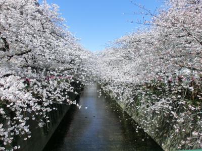 目黒川で桜を満喫♪~2019~