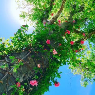 新緑の北川村モネの庭マルモッタンと吉良川の町並みを楽しむ旅